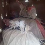Ayam Kalkun Jenis Bronze Umur 5 dan 6 bulan Pesanan Pak Ahmad di Margajaya Bekasi Selatan