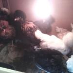 Penanganan Anakan Ayam dari umur 1 – 4 Bulan