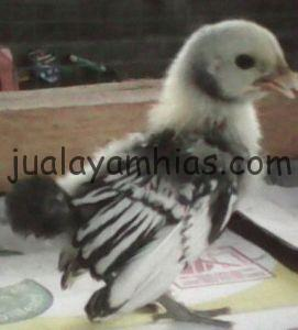 Ayam Batik Itali Anakan