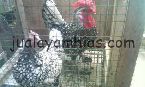 Ayam Batik Itali Indukan
