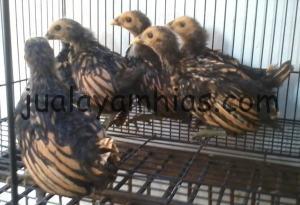Ayam Batik Kanada 1 bulan