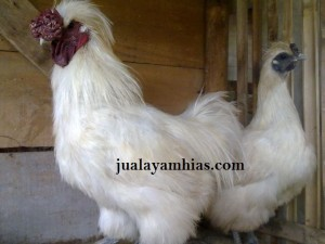 Ayam Kapas Indukan