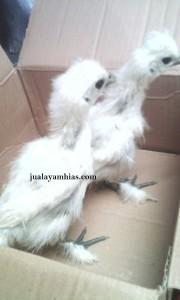 Ayam Kapas Umur 1 Bulan
