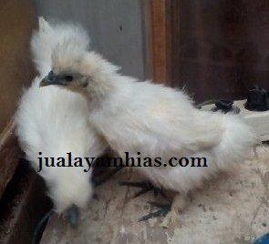 Ayam Kapas umur 2 Bulan