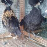 Ayam Kapas, Ayam Polan, Ayam Mutiara, Ayam Kampung, Ayam Batik Kanada Coklat Gold, Ayam Batik Batik Itali dan Ayam Cemani Walik Persiapan Kirim Hari ini ke beberapa Tujuan di Pulau Jawa dan Sumatera