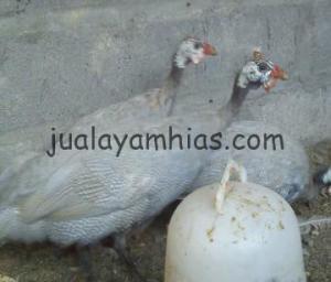 Ayam Mutiara Silver