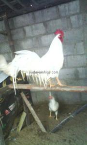 Ayam Onagadori Putih