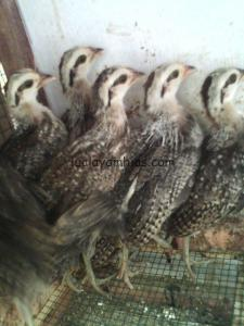 Ayam Onagadori Umur 1 Bulan