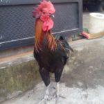 4 Faktor Penting yang Mempengaruhi Kualitas Suara Ayam Pelung