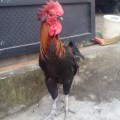Ayam Pelung Dewasa Jantan