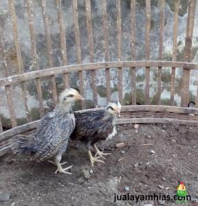 jenis ayam phoenix