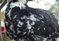 Ayam Poland Jantan Indukan