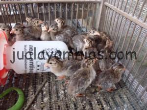 DOC Ayam Mutiara