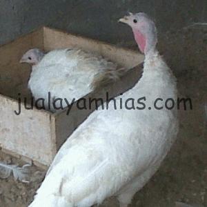 Ayam Kalkun Putih