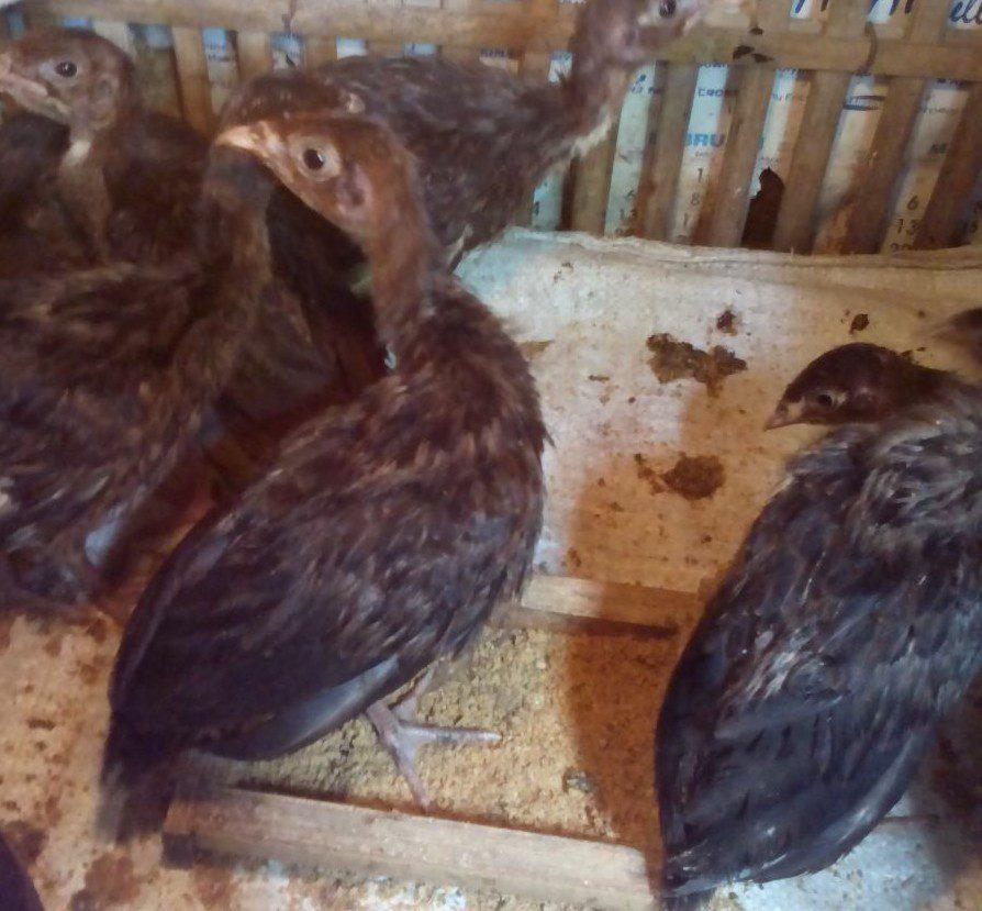 Anakan Ayam Kalkun Black Spanish Umur 1 Bulan Siap di ...