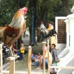 Cara Membuat Jamu untuk Ayam Ketawa
