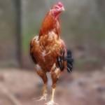 Cara Merawat Ayam Bangkok Agar Cepat Besar