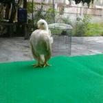 Cara Agar Ayam Serama Mengerami Secara Alami