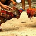 Lagi, Penjudi Sabung Ayam di Tangkap Aparat Kepolisian di Jakarta Pusat Pada Minggu Sore Kemarin
