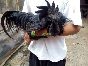 Mengamati Jengger Ayam Cemani Asli