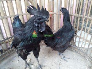 Sepasang Ayam Cemani Dewasa