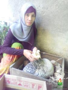 Bu Lisa Pelanggan jualayamhias.com di Salatiga Jawa Tengah yang Sukses Menetaskan Telur Kalkun dengan Metode Alami