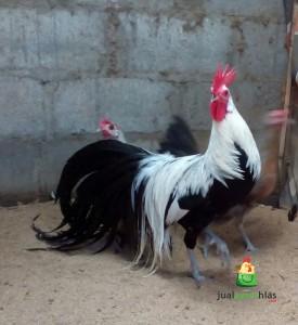 Ayam Phoenix Jantan