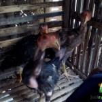 Anakan Ayam Bangkok Pelengkap Ayam Hias Bukan untuk di Adu