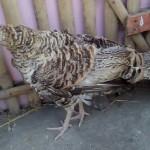 Ayam Ketawa 4 Bulan, Ayam Kalkun Bronze Indukan Betina dan AyamKapas 3 Bulan Pesanan Bapak Heriyanto di Grogol Kota Cilegon Banten