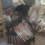 10 Hal Yang Perlu Anda Ketahui Sebelum Beternak Ayam Kalkun