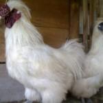 Mari Mengenal Ayam Kapas