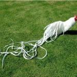 Mengenal Ayam Onagadori yang Memiliki Ekor Panjang