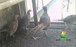 Ayam Ringneck Pheasent