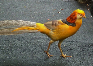 Yellow Pheasent