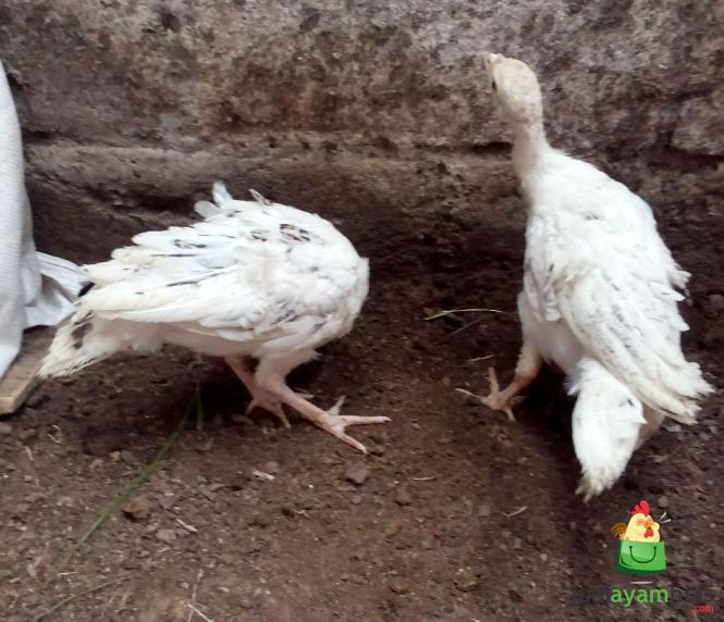Ayam Kalkun Golden Palm Umur 2 Bulan Pesanan Bapak Abu Rambe di Jember Jawa Timur