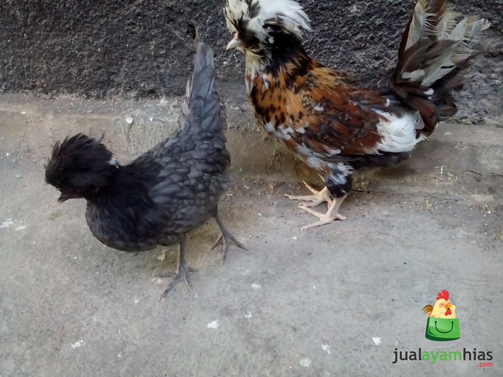 Ayam Poland Umur 3 Bulan  Pesananan Pak Andri di Tulungagung  Jawa Timur
