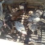Stock Ayam Kalkun Umur 1 Bulan