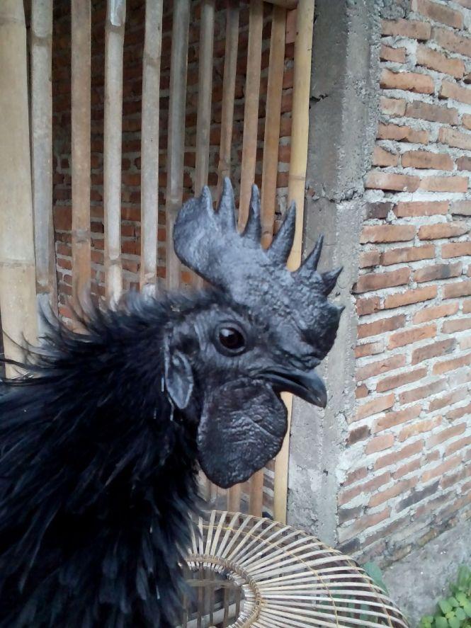 Foto Kepala Ayam Cemani Jantan