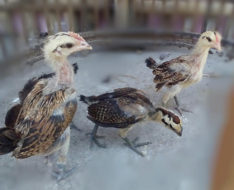 Daftar Harga Ayam Pelung Terbaru Tahun 2017