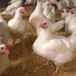 Penting di Pelajari di Tahap Awal  Beternak Ayam Jantan Buras Secara Intensif
