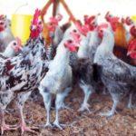 Mengenal Ciri-Ciri Ayam Kampung Super