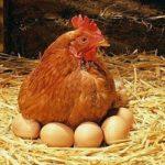 3 Tahapan untuk Memulai Beternak Ayam Petelur