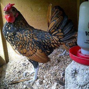 Ayam Batik Kanada Jantan 7 Bulan