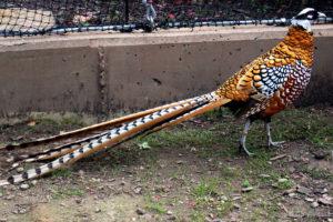 Ayam Reeves Pheasent Dewasa