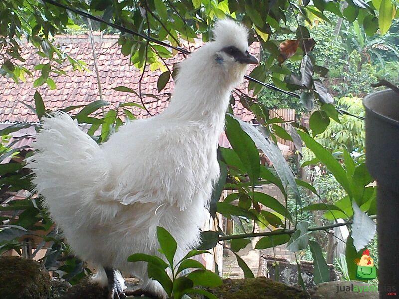 Ayam Kapas Umur 5 Bulan