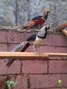 Jual Red Pheasent