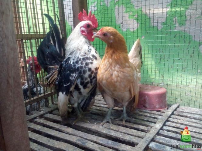 Ayam Serama Umur 5 Bulan Pesanan Bapak Amir di Surabaya