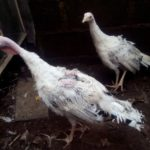 Ayam Kalkun Royal Palm Sepasang Umur 3 Bulan Pesanan Bapak Fahyu di Tangerang
