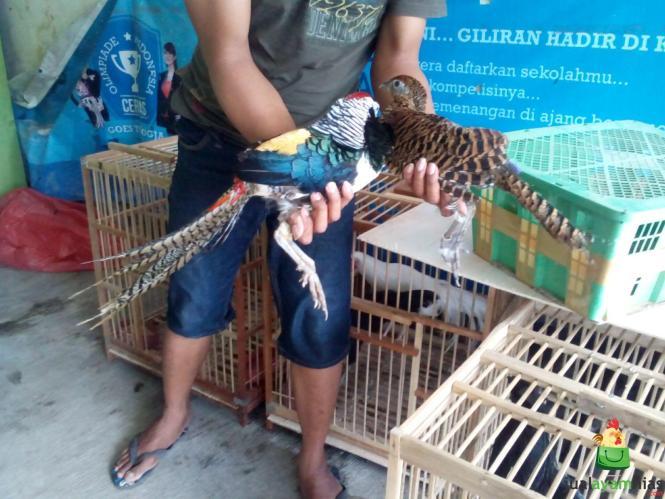Ayam Lady Amhers Pheasent Dewasa Jantan (3)