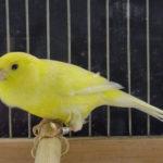 Tips Mudah Agar Burung Kenari Cepat Bertelur